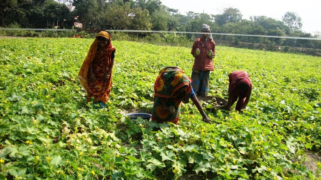 Vegetable cultivation under livelihood project